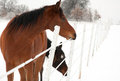 Bay Horse Eating Ice Off A Fence Wire Royalty Free Stock Photos - 24008668