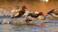 Flying Red Crested Pochard Royalty Free Stock Photo - 24010105