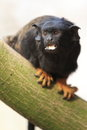 Red-handed Tamarin Royalty Free Stock Image - 24025846