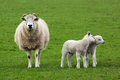 Sheep And Two Lambs Stock Photo - 24064240
