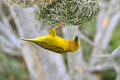 Cape Weaver Royalty Free Stock Images - 24071429