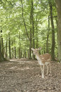 Wild Fallow Deer In Black Forest, Germany Stock Images - 24075934