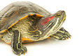 Pond Terrapin Royalty Free Stock Photos - 24077768