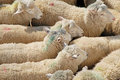Sheep Transportation Stock Photos - 24081703