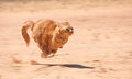 Orange Tabby Cat Running Full Speed Royalty Free Stock Photo - 24082945