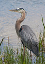 Great Blue Heron Royalty Free Stock Image - 24089576