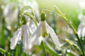 Snowdrop Royalty Free Stock Photography - 24092577