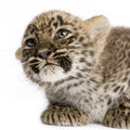 Persian Leopard Cub (2 Months) Royalty Free Stock Image - 2419826