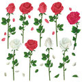 Set Of Flowers White And Red Roses Over White Royalty Free Stock Photography - 24106577