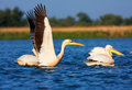 Great White Pelicans Stock Images - 24117294