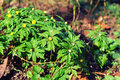 Creeping Buttercup Plants Royalty Free Stock Photo - 24122125