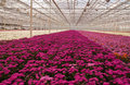 Colorful Chrysanthemums In A Dutch Flower Nursery Stock Image - 24131971