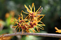 Hamamelis Witch Hazel Flower March UK Stock Photos - 24134883