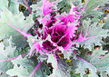 Decorative Cabbage Stock Photography - 24137782
