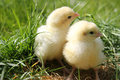Two Cute Chicks Close Up Landscape Royalty Free Stock Images - 24144569