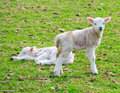 Two Young Lambs Stock Images - 24153224