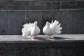 A Pair Of White Doves Stock Photography - 24159282