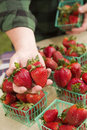 Farmer Gathering Fresh Strawberries In Baskets Stock Photo - 24164110