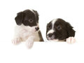 Border Collie Puppies With A Card Stock Image - 24169121