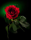 Close Up Of Red Rose Stock Images - 24175774