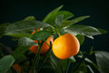 Mandarins Branch Royalty Free Stock Image - 24196686