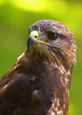 Golden Eagle Royalty Free Stock Photo - 2427175