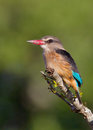 Brown-hooded Kingfisher Royalty Free Stock Photos - 24206708