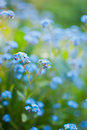 Forget-me-not Stock Photo - 24210580