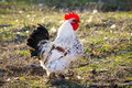 Rooster Royalty Free Stock Images - 24221559