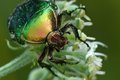 Rose Chafer Stock Images - 24228494