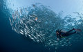 Diver With A School Of Jacks Stock Photography - 24230932