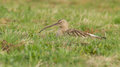 Curlew Breeding Royalty Free Stock Images - 24240649