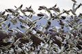 Lift Off Hunderds Of Snow Geese Taking Off Flying Royalty Free Stock Photography - 24247917