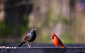 Cardinal And Common Grackle Stock Images - 24271124