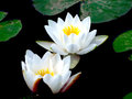 Pair Of White Water Lilies With Yellow Pistils Stock Photography - 24283342