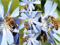 Collage Of Honey Bees On Chicory Flowers Royalty Free Stock Photo - 24288815