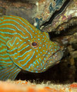 Blue Hind/grouper Royalty Free Stock Image - 24288866