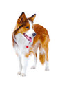 Border Collie Portrait, Isolated On The White Royalty Free Stock Photography - 24290727