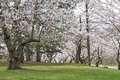 Japanese Cherry Trees In Bloom Stock Image - 24297971