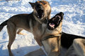 Two Dogs Singing Stock Image - 2438801