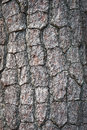 Bark Of Pine Tree Stock Images - 24309964