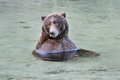 Grizzly Bathing Royalty Free Stock Images - 24310069