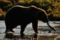 Grizzly Bear Fishing Stock Images - 24310094