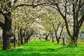 Cherry Tree Alley In Bloom Royalty Free Stock Photography - 24329537