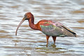 Glossy Ibis Stock Photography - 24331592