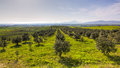 Olive Grove In Greece Stock Photos - 24341803