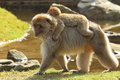 Barbary Macaque Stock Photo - 24343470