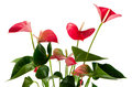 Beautiful Anthedesia Anthurium Stock Images - 24348944