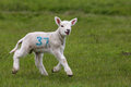 Cute Lamb In Green Field Royalty Free Stock Image - 24357326