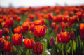 Field Of Red Tulips Royalty Free Stock Images - 24363629